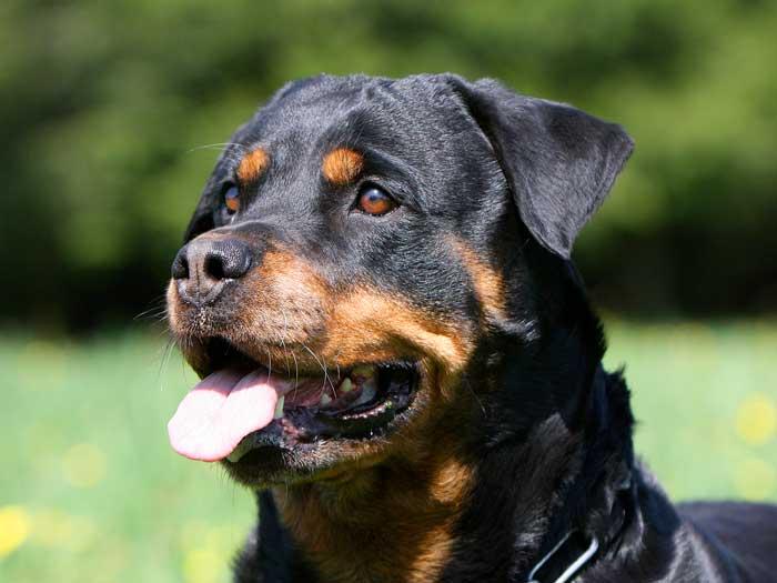 Attestation d'aptitude de chiens de catégories 1 et 2 et de tous chiens mordeurs Rottweiller